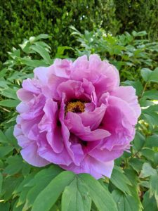 Tree peonies are heavy feeders and respond well to a generous, early autumn top dressing of bone meal fertilizer. The high potash content encourages flowers to develop. A light sprinkling of a general fertilizer can be applied in spring.