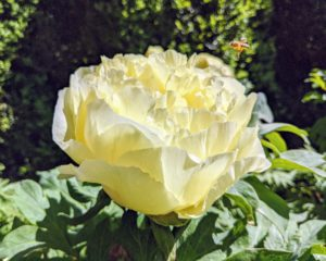 Here is a creamy yellow peony blooming perfectly in my Summer House garden.