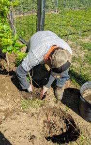 "Pete removes each tree from its pot and places it into the hole. Planting depth is one of most important factors. Planting a tree too deep can kill it. ""Bare to the flare"" is the rule of thumb. Look for the root collar or root flare – the bulge just above the root system where the roots begin to branch away from the trunk. This root flare should be just above the soil surface."