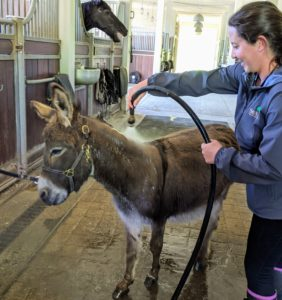For bath time, the donkeys are secured to a line near the shower. All three donkeys are very well-behaved and very patient. Rufus is first. Here, Helen starts by wetting his coat thoroughly with warm water.