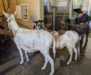 Donkeys are herd animals, so they don't like being separated from other members of their pack, so baths for the donkeys are done just outside the stall, where there is more room. For this trio, as each one is bathed, the other two stand nearby.
