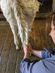 It's also important to wash the hooves, legs, and belly. Helen rinses every leg thoroughly – so much dirt can accumulate in their coats.
