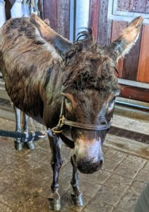 After a good scrub, Rufus is carefully rinsed. Donkeys are happiest when they are with their friends, so as long as he can see Clive and Billie, all is well.