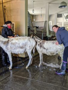 Here, Clive is on the left, and Billie is on the right. It's their turn to be soaped and cleaned. All three donkeys get along exceptionally well. They are also very friendly and love greeting anyone who visits.
