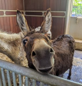 The three other donkeys next door are waiting patiently for their meal as well. That bath wasn't so bad, Rufus, was it? Don't tell them, but this week, they're also scheduled for their summer haircuts.