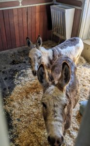 JJ and TJ are led back to their stall to dry and eat dinner. Donkeys have a very keen sense of curiosity, as shown by their forward ear carriage in this photo - maybe they're expecting more treats after their baths.