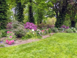 I love my curving border of tree peonies, Paeonia suffruticosa. There are very few plants that can compete with a tree peony in full bloom. They flower from late April to early May but the season often varies from year to year.