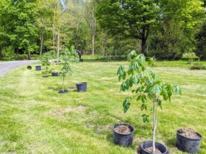 Horse-chestnuts should be planted in moist, well-drained soil in full sun or partial shade.