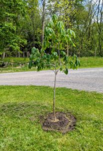 The horse-chestnut, Aesculus, is a large deciduous tree. This is one of a group of horse-chestnuts that were originally potted up as bare-root cuttings and nurtured for more than a year.