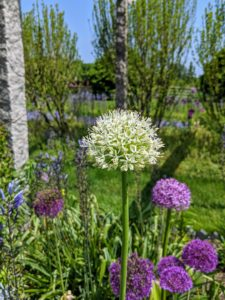 We also have some white alliums mixed in this garden.