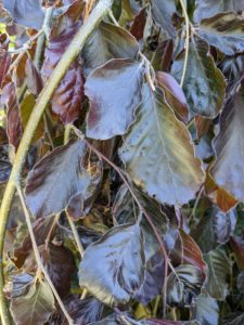 The deep red to copper leaves grow densely on cascading pendulous branches.