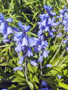 Spanish Bluebells, Hyacinthoides, are unfussy members of the lily family, and native to Spain and Portugal. They are pretty, inexpensive, and good for cutting – they add such a nice touch of blue.