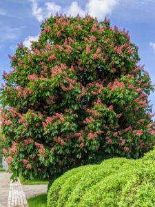 These trees make wonderful shade trees for large areas - when selecting a space for planting, always consider the mature growth of the tree.