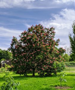 The horse-chestnut can grow to a height of about 50 to 75 feet and a spread of 40 feet at maturity. We also added a couple more young horse-chestnuts in this area.