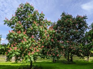 I have more mature trees along a carriage road and on two sides of the donkey paddock. These trees are now bursting with reddish-pink clusters. These trees begin to flower in mid-May and quickly attract lots of attention.