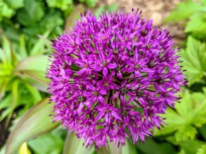 Alliums require full sunlight, and rich, well-draining, and neutral pH soil. This is Allium 'Ambassador' – among the tallest and longest blooming. It is intensely purple with tightly compacted globes that may bloom for up to five weeks.