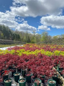 Not long ago, I went to visit the wholesale Summer Hill Nursery in Madison, Connecticut. They specialize in broadleaf evergreens, especially rhododendrons and azaleas, flowering shrubs and trees, Japanese maples, and many rare and unusual varieties of native plants. I am definitely returning soon - look at all the Japanese maples!