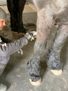 Sarah also combs the back legs. Because all my horses are groomed every day, they are quite used to this process - Sasa does not mind at all and holds very still.