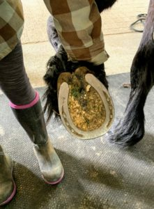 Cleaning a horse's hooves is also very important. They should be picked daily. Helen shows a shoed foot before it is picked - lots of debris can get caught causing pressure on the foot.