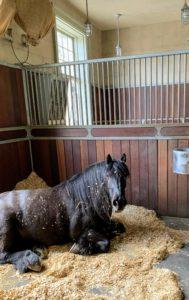 And look who woke up - hello, Banchunch, my dear Fell pony.
