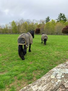 Sasa and Banchunch are turned out in a nearby paddock also in their turnout rugs.