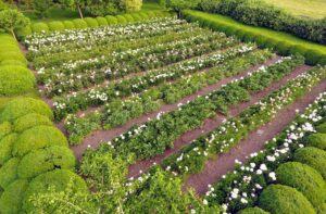 Here's a view of the peony garden from above taken with my drone.