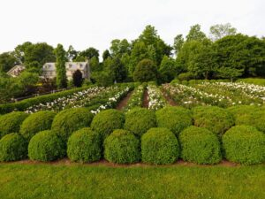 The peony garden is surrounded on all sides by this beautiful boxwood hedge, which I designed to grow in two layers - they've matured so nicely. In winter I wrap the boxwood in burlap, which helps protect them from the harsh winds and heavy snow.