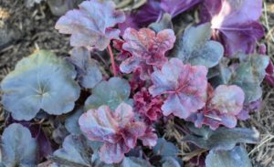 At one end of the pool fence, on the inside, I planted a group of Heuchera 'Obsidian', also known as Obsidian Coral Bells. The glossy dark maroon, almost black, leaves keep their color all season – it adds a gorgeous accent to the bed.