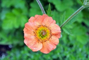 Geum, commonly called avens, is a genus of about 50 species of rhizomatous perennial herbaceous plants in the rose family, widespread across Europe, Asia, North and South America, Africa, and New Zealand. They produce flowers on wiry stalks, in shades of orange, white, red, and yellow. Geum is a relative of the strawberry. Its bright and showy, cup-shaped flowers appear in late spring.