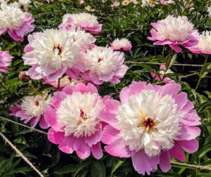 The peony is a perennial flower. The majority of peonies are hybrids and classified as herbaceous, or as deciduous tree peonies. The peony is showy, frilly, and incredibly fragrant, with thick, large green leaves and tuberous root systems.
