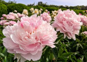 The only disadvantage of peonies is that each field yields one crop of cut flowers for a couple of weeks only once a year, and then that's it – until the next season when they bloom with splendor once again.