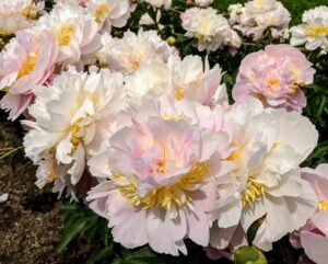 Among the varieties in my collection - 'Elsa Sass', 'Victorian Blush', 'Fringed Ivory', 'Martha', 'Madylone', 'Lullaby Coos', 'Vivid Glow', 'Angel Cheeks', 'Miss America' and 'Flying Pink Saucers'.