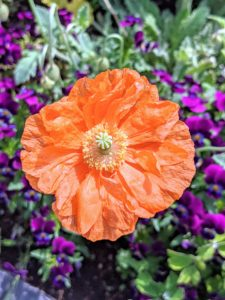I also have Iceland poppies in shades of orange, yellow, and white. They come in more than 80 varieties. The flowers also attract birds, butterflies, and bees.