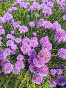And many of you will recognize the chives. Chives is the common name of Allium schoenoprasum, an edible species of the Allium genus. Chives are a commonly used herb and can be found in many home gardens.