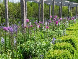 And of course, the beautiful alliums – I have so many alliums along the clematis pergola. Allium species are herbaceous perennials with flowers produced on scapes. They grow from solitary or clustered bulbs. This pergola goes through several transformations throughout the year, and every one is a show stopper.