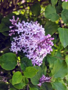 Here is a closer look at the flowers. The 'Miss Kim' Lilac is one of the most fragrant of all Lilac bushes.
