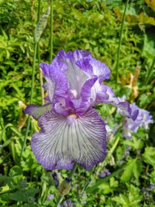 "Anyone who visits this garden admires the bearded irises. These flowers get their common name from their blooms, which consist of upright petals called ""standards,"" pendant petals called ""falls,"" and fuzzy, caterpillar-like ""beards"" that rest atop the falls."