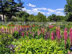 The lupines are in such abundance this year. Lupinus, commonly known as lupin or lupine, is a genus of flowering plants in the legume family, Fabaceae. The genus includes more than 200 species. It's always great to see the tall spikes of lupines blooming. Lupines come in lovely shades of pink, purple, red, white, yellow, and even red.