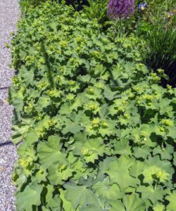 Lady's mantle, Alchemilla vulgaris, grows along both sides of the path of my cutting garden. It is a clumping perennial which typically forms a mound of long-stalked, circular, scallop-edge light green leaves, with tiny, star-shaped, chartreuse flowers.