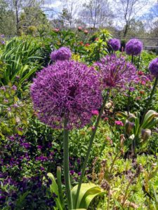 Alliums will grow in most soil types as long as it is well-drained. Alliums adore sunlight and will perform best when they can bask in it all day long. Since most of them multiply naturally, they can be left untouched in the same area for years.
