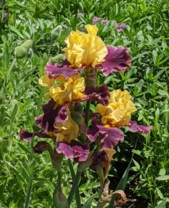 Bearded irises need full sun, good drainage, lots of space, and quality soil. They come in just about every flower color, both solids, and bi-colors. Branched flower stalks range in height from eight-inch miniatures to 48-inch giants – and all make excellent cut flowers.