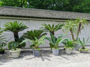 Every year, these tropical plants are taken out of storage, cleaned up and repotted if needed, and then moved to their warm-weather locations.