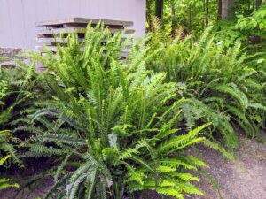 Nephrolepis obliterata is a large fern, which grows in rainforests upon rocks or in the soil near lakes or streams native to northeastern Australia and New Guinea. It is considered one of the most beautiful among all ferns. It has large fronds and upright bushy and sword-shaped leaves.
