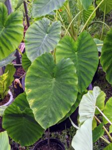 Here is a green colocasia. In contrast to Alocasia, the leaf tip of colocasia points downwards.