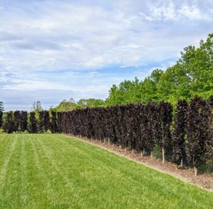 Surrounding the pool and inside the fence is this gorgeous hedge of purple columnar beech trees, Fagus sylvatica 'Dawyck Purple' - a splendid tree with deep-purple foliage that holds its color all season.
