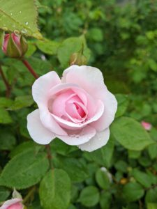 And a beautiful and perfect rose - the roses are just starting to bloom now. I can't wait until the entire area is filled with these fragrant and colorful blossoms.