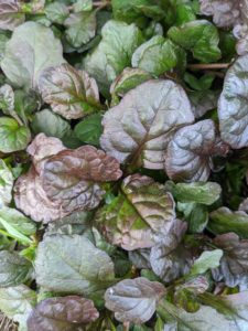 There is also Ajuga 'Black Scallop' – a unique perennial in the mint family Lamiaceae, with most species native to Europe, Asia, Africa, and southeastern Australia. Ajuga has lush dark burgundy-black foliage that blankets the ground when mature.