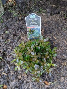 Another bugleweed is this 'Chocolate Chip' - also planted on the inside of the pool fence.