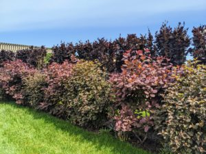 I wanted to create a natural border along both sides of the fence. I decided to alternate two kinds of shrubs on the other side – one phsyocarpus and then one cotinus, etc.