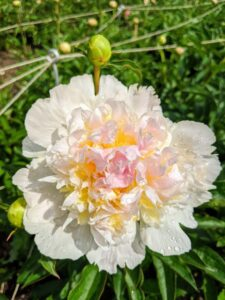 The peony is any plant in the genus Paeonia, the only genus in the family Paeoniaceae. They are native to Asia, Europe, and Western North America.